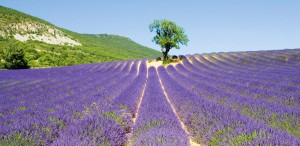 Lavendel in Frankreich
